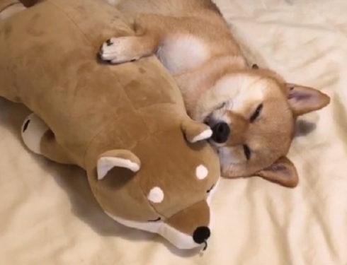 豆柴環抱「等身娃娃」 緩緩閉眼入睡:這是我的好朋友 – ETtoday寵物新聞