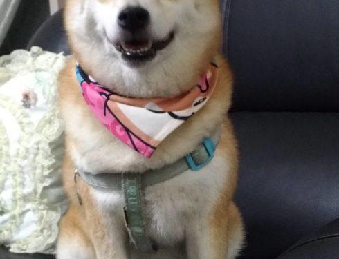 可愛的柴犬Coco